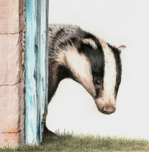 Badger in coloured pencil