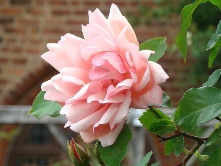 Undersköna klätterrosen 'Albertine' ger trädgården en romantiskt engelsk känsla.