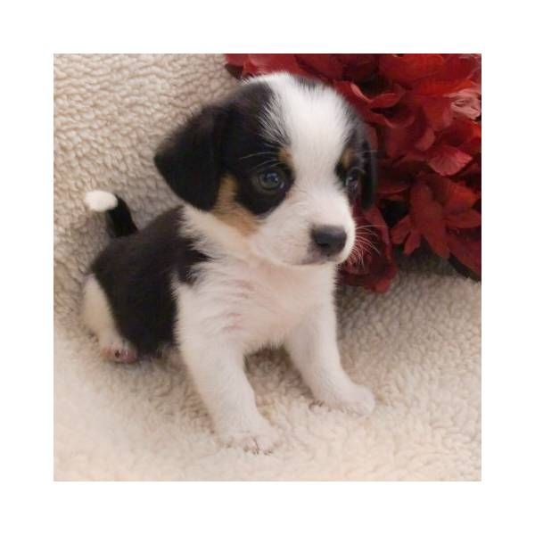 Miniature Beagle Puppies For Sale | Beagle Puppy