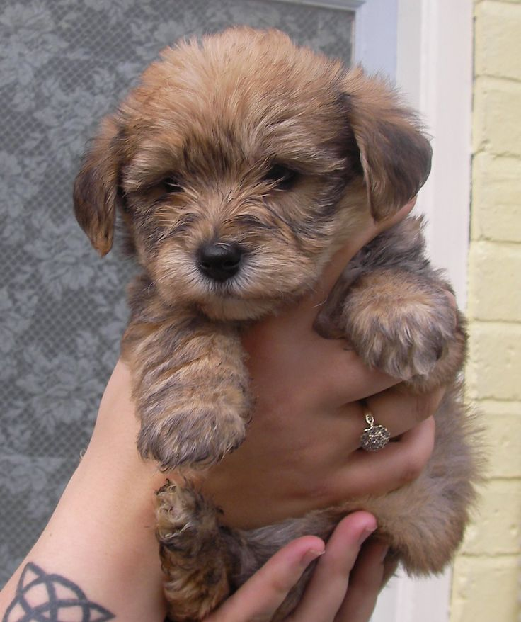 borkie! (bichon and yorkie mix) this is the same dog I have but a lighter brown