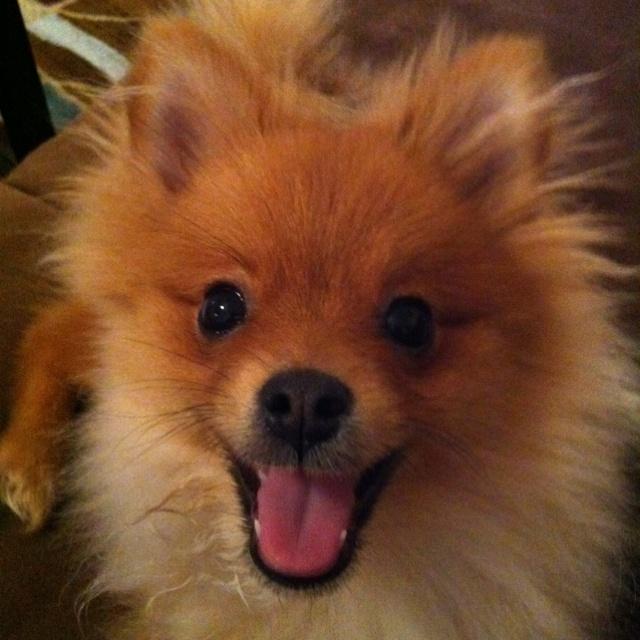 Cute Pomeranian puppy happy face