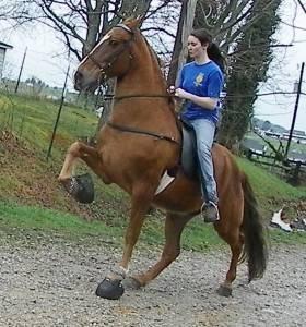 PRICE REDUCED--KID BROKE SHOW HORSE REG. TWH ***10 year ...