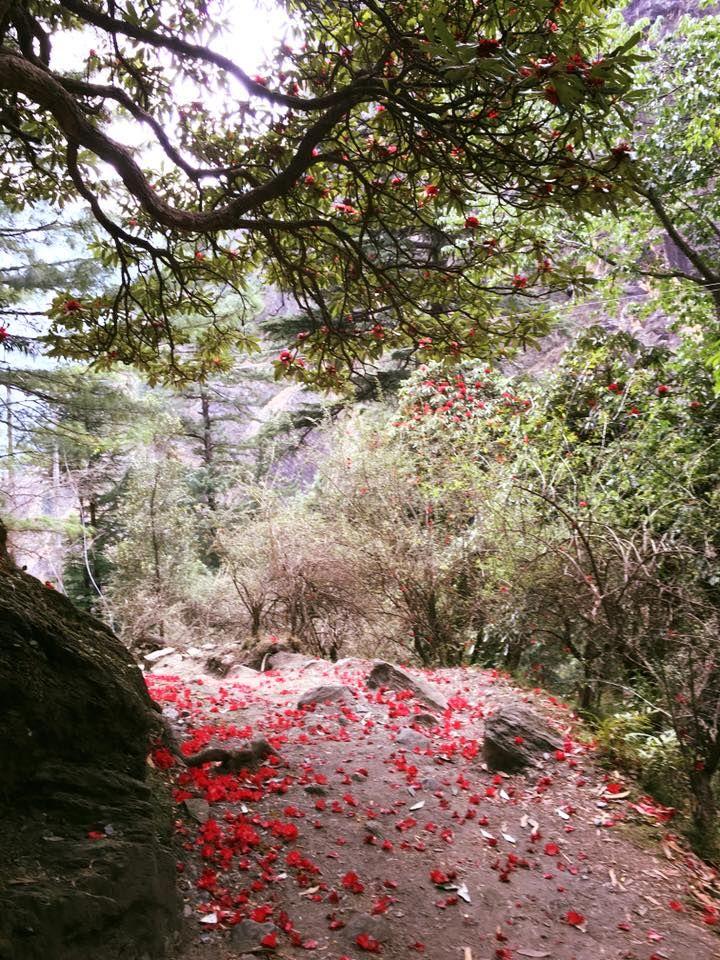 Hidden trek places Kasol, Himachal Pradesh, India . #redflowers #kasol #peace