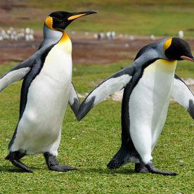 55 adorables fotos de pingüinos, una de las especies más amenazadas (GALERÍA)