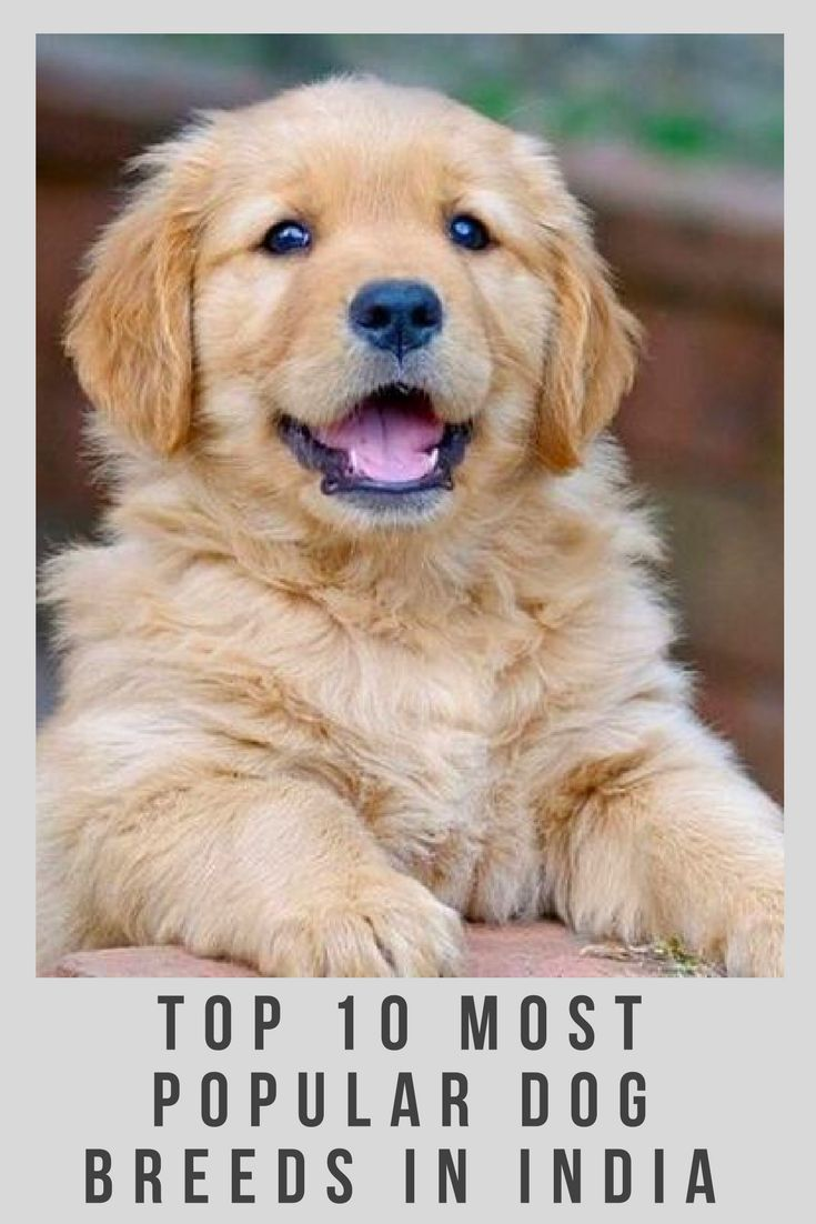 10 Most Popular Dog Breeds In India Popular Dog Breeds Most