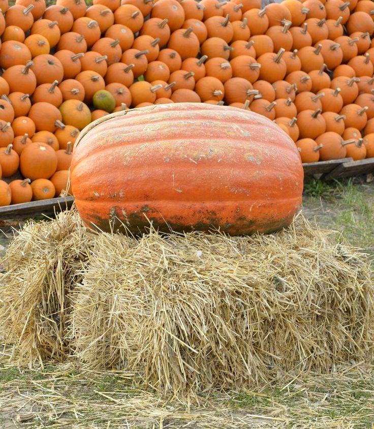 Olbrzymia dynia Pumpkin farm