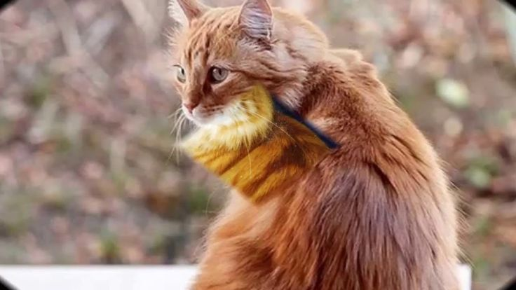 Cymric Cat is a breed of domestic cat. Some cat registries consider the Cymric Cat simply a semi-long-haired variety of the Manx breed, rather than a separate breed.  #Cymric #Cat #Breed #CymricCat #CymricKittens