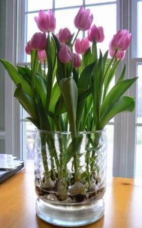 How to force tulip bulbs in water #Flowers   Organic Gardening