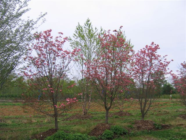 cornus florida 39 rubra 39 flowering trees pinterest. Black Bedroom Furniture Sets. Home Design Ideas