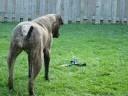 Bullmastiff and Sprinkler part 2