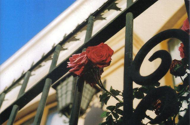 #roses #zenit122 #analog #film #35mm