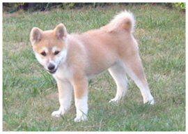 akita inu chien japonais