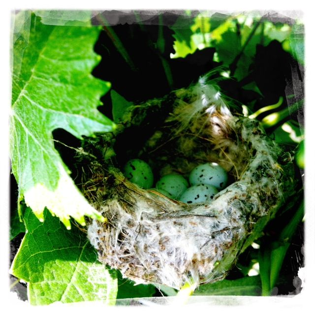 little birds growing in the vineyard