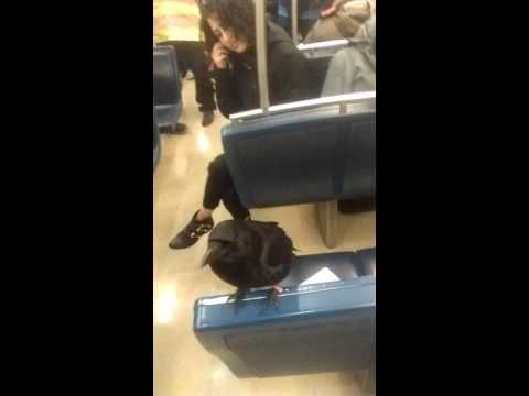 Crow Rides the SkyTrain in Vancouver, BC - Slog - The Stranger