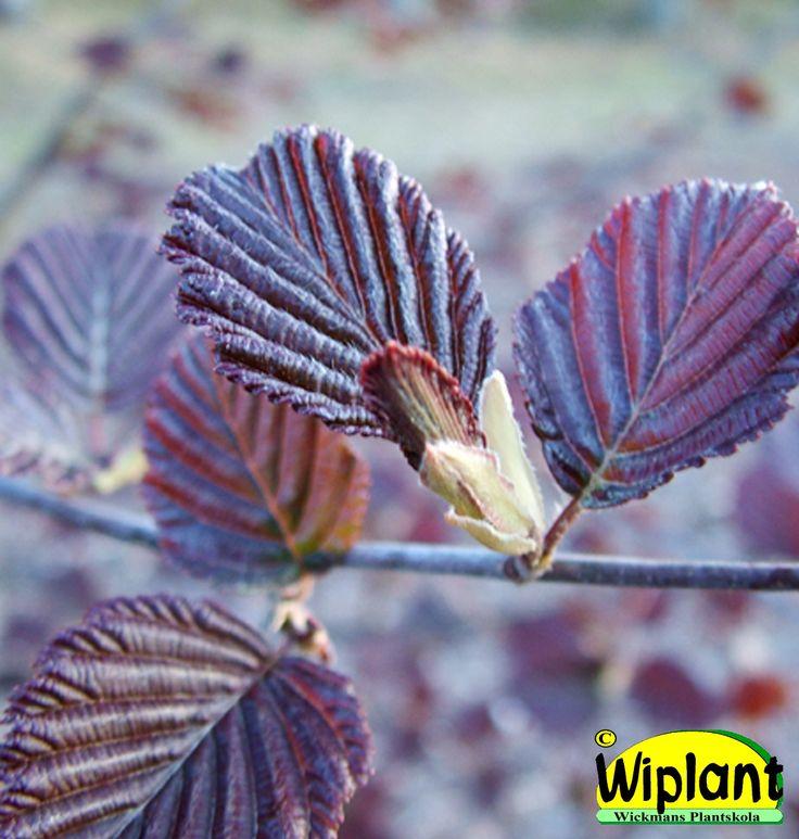 Alnus incana f. 'Rubra', Rödbladig al. Röda blad på försommaren. Höjd: 8-10 m.