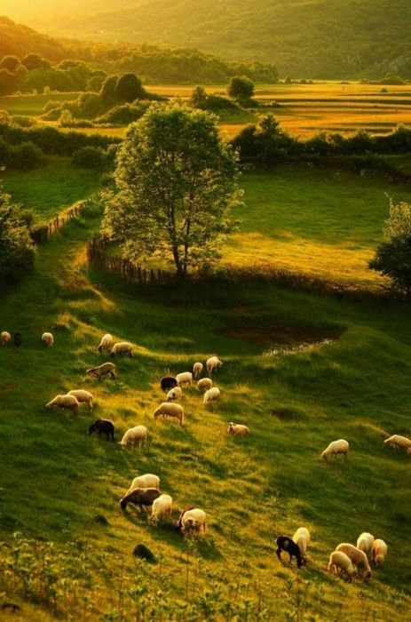 sheep grazing in the fields ~ Ireland ,,,,,,, love it I want to go here!