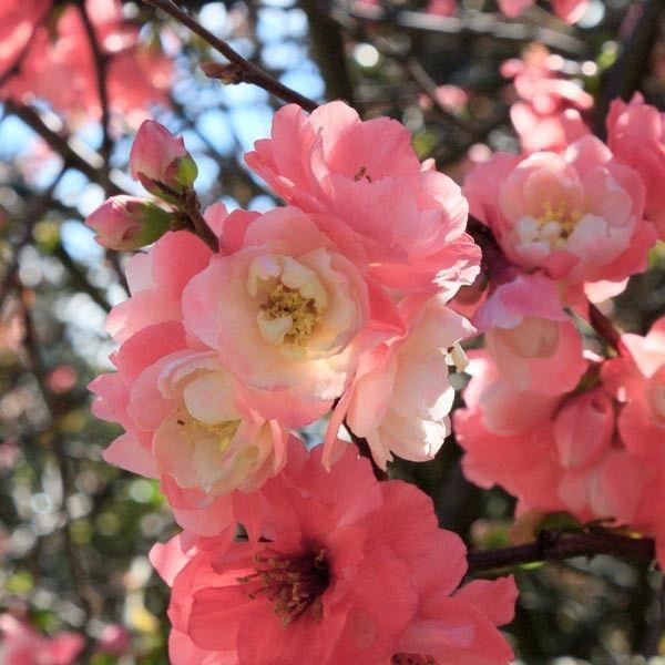 Le cognassier du Japon Falconnet Charlet est un arbuste à floraison double rose et au feuillage caduc vert.