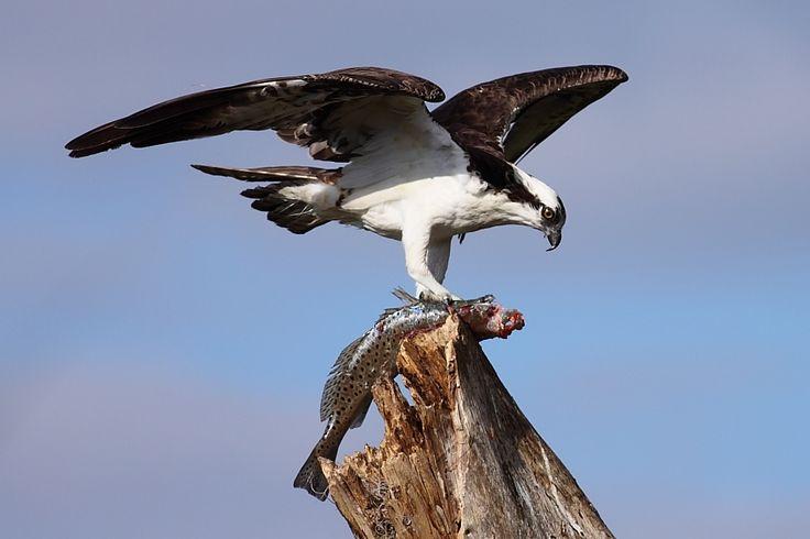 Balbuzard pêcheur (Pandion haliaetus)