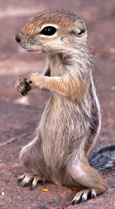 Antelope Ground Squirrel -  dessert dwellers that live in burrows
