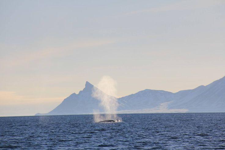 Blåhvalblåst, Kongsfjorden på Svalbard. Foto: Martin Kristiansen / Norsk Polarinstitutt