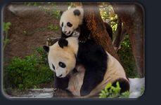Anne pandalar yavrularına çok iyi bir bakım sağlarlar. Yavru pandaların özel bir korumaya ihtiyaçları vardır çünkü doğduklarında tam anlamıyla yardıma muhtaç durumdadırlar.