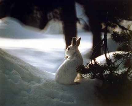 Simply Stunning! This beautiful wall poster depicts the image of white rabbit seeking shelter from the first snow of the season. This poster is ideal for your home decor and goes well with all decor style. This poster brightens up any place and will be an ideal gift for any wild animal lover. This wall poster is uniquely created with technique that ensures the better quality product with perfect color accuracy which offers long-lasting beauty to your home.