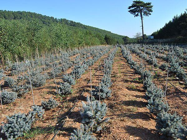 aşılı mavi ladin üretimi