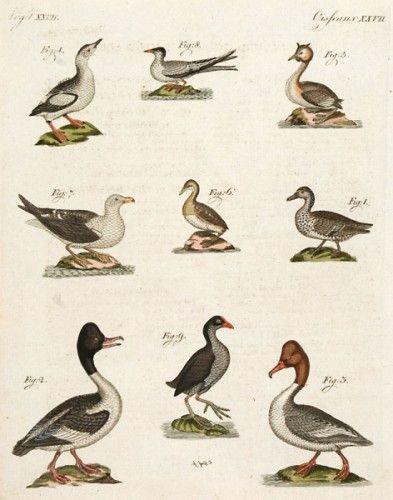 BERTUCH, Friedrich Justin. Ducks and Gulls #engraving #colour #birds #naturalhistory