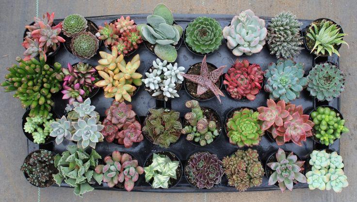 1000 ideas about succulents for sale on pinterest cacti. Black Bedroom Furniture Sets. Home Design Ideas