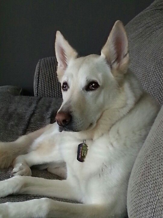white German shepherd Reminds me of my Solamay.