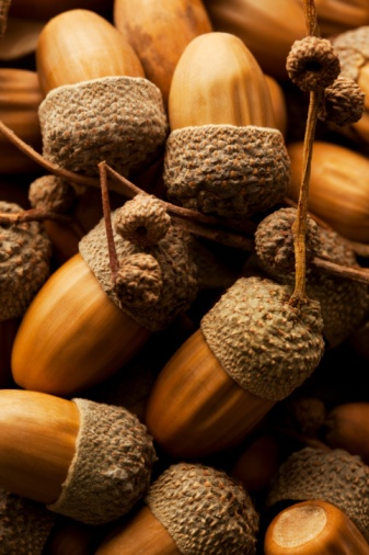 when we were kids we'd rub acorns at top and bottom and poke the 'nut' out to make acorn rings.....memories!