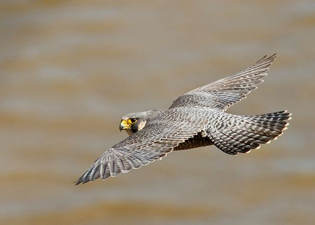 Peregrine Falcon by Herb Houghton, endangered species success!