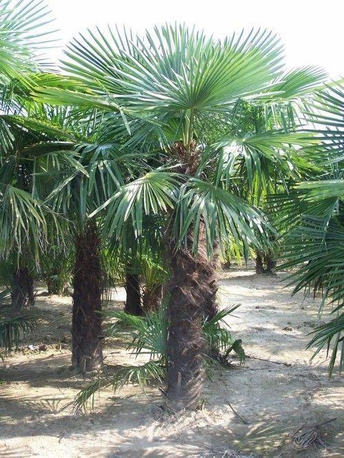 Palmier de Chine - Trachycarpus fortunei