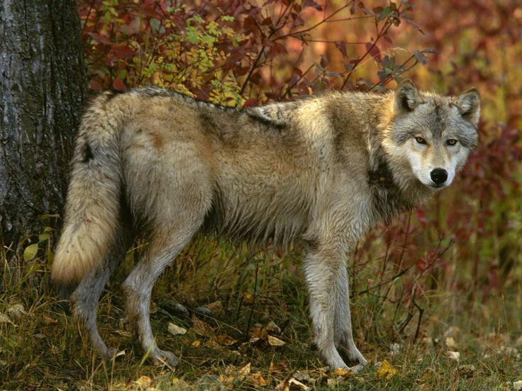 wild wolves in arkansas