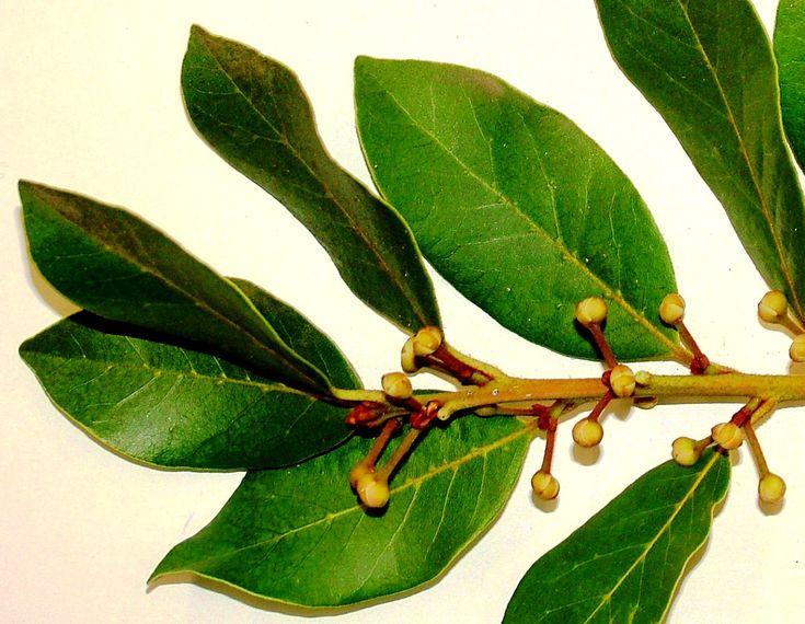 Como cultivar louro. O louro ou loureiro (Laurus nobilis) é um arbusto ou uma árvore que geralmente atinge menos de 10 metros de altura, mas que pode chegar a atingir 18 metros.    Nativo da região mediterrâne…