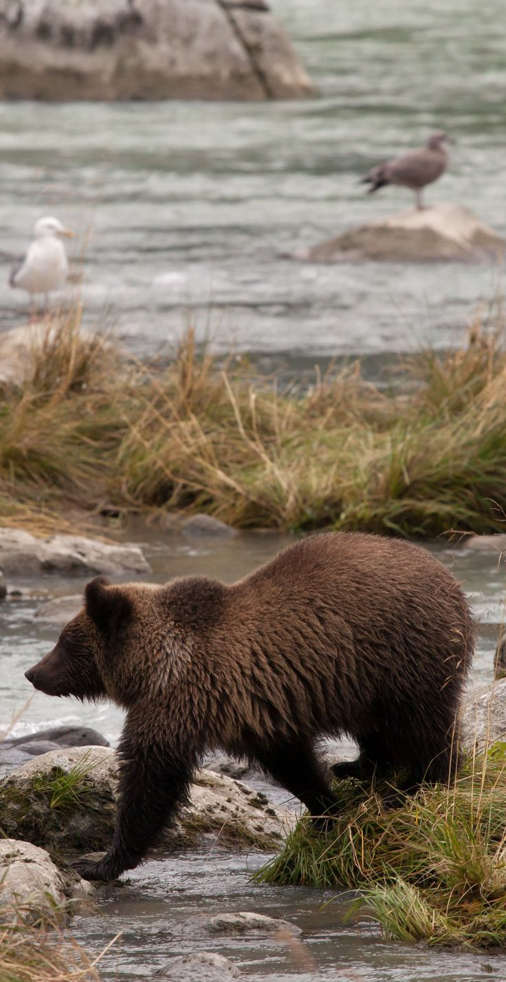 Alaska haines county - Grizzly Bear At Chilkoot River Haines