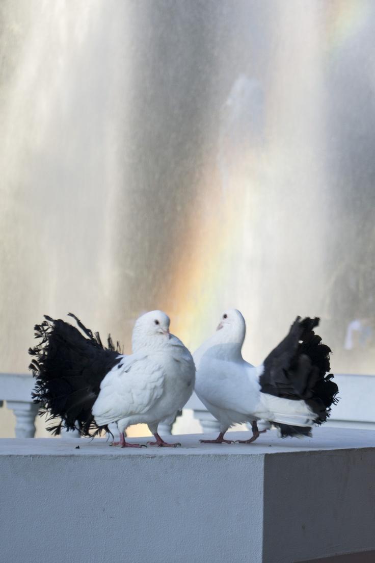 Pigeons- my obsession
