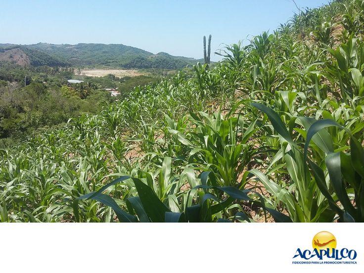 #informacionsobreacapulco Agricultura en Acapulco. NOTICIAS DE ACAPULCO.Con casi 38 mil hectáreas totales sembradas, la agricultura en el municipio de Acapulcoes una de las principales actividades económicas, ubicándose tan sólo detrás del turismo. Buena parte de su producción se emplea para el consumo interno, tanto de la población como del turismo, e igualmente otro segmento se envía a otros Estados. Te invitamos a conocer más del hermoso puerto de Acapulco durante tus próximas vacaciones…