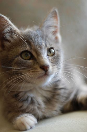 1000 Images About Pastel Tiger Tortie Cats On Pinterest