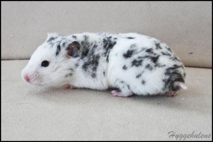 Hamster Love | Spots of Cuteness