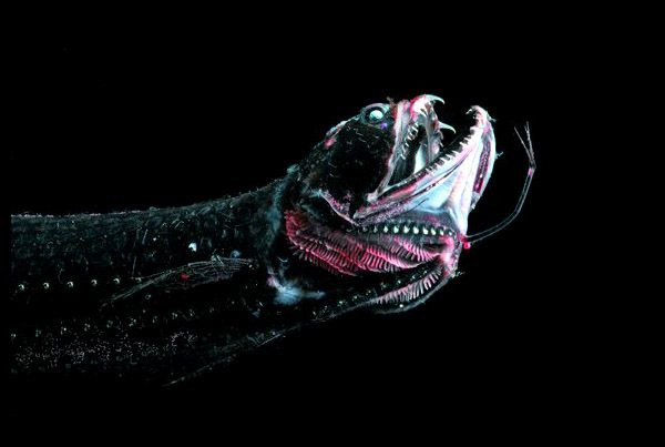 3. Dragonfish - These little guys (most only grow to about 6 inches long) have a special organ called a photophore that allows them to produce light and let their prey come to them.
