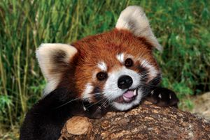 Toby, the red panda, the world's cutest animal, at the Houston Zoo printable coupons. http://www.pinterest.com/TakeCouponss/houston-zoo-coupons/