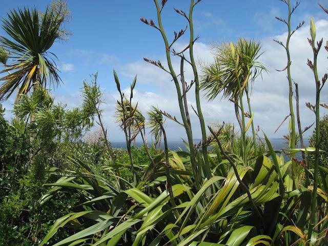Harakeke (NZ flax)