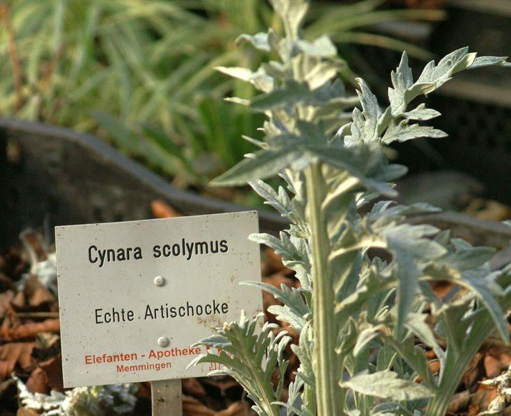 Unique Artischocke Bio Pflanzen