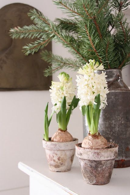 Forcing Hyacinths, Pine