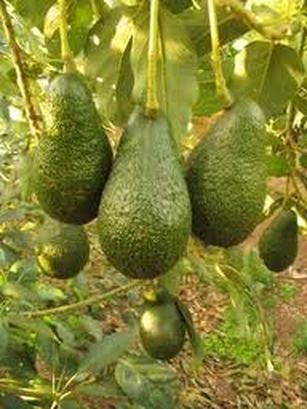 how to grow a hass avocado tree from seed