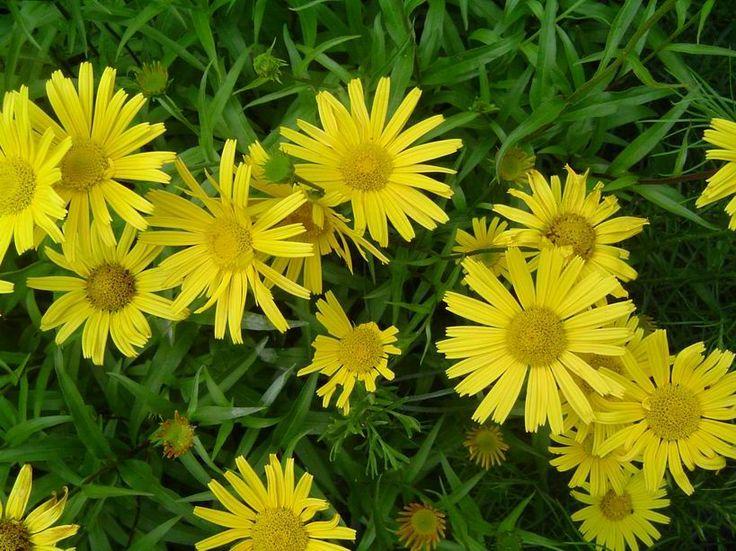 Häränkukka - Buphthalmum salicifolium