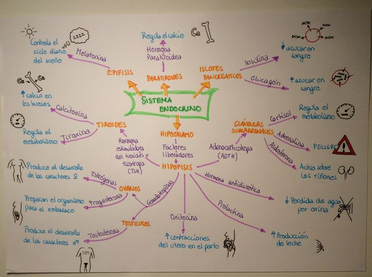 Mindmap Sistema Endocrino Biología 3 ESO