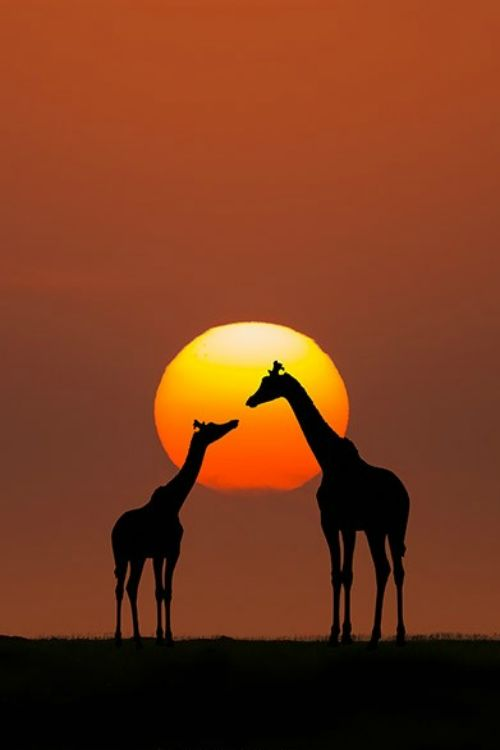 "tulipnight: "" Giraffe Sunset by Bahadir Yeniceri """
