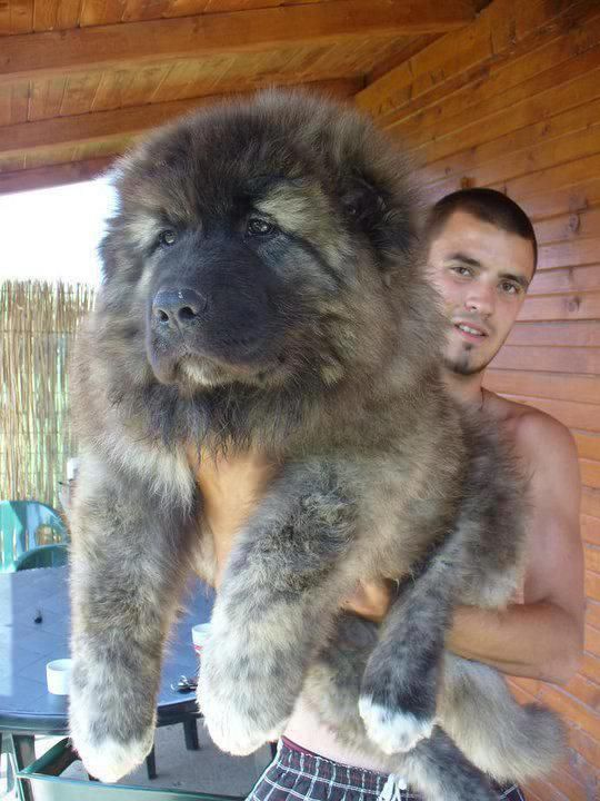Full grown man holding an 11 week old caucasian ovcharka!   So large but still adorable. This puppy if gunna grow up to be a bear of a dog.